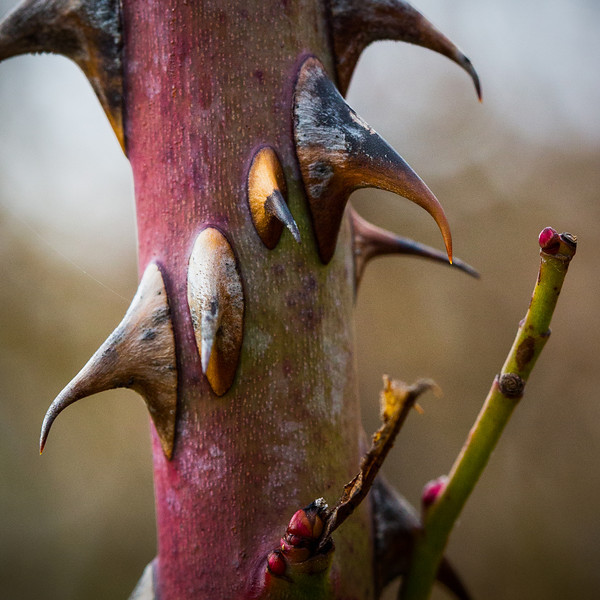 Wicked looking thorns.