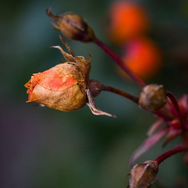Dead rosebud.