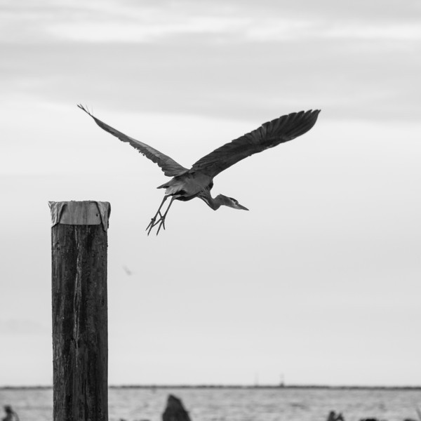 Great Blue Heron visits Garry Point Park.