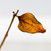 A backlit dead leaf.