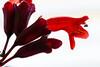 Lipstick plant.