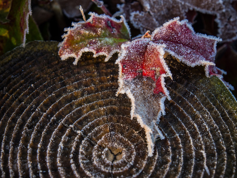 Frost covered plants at Garry Point Park.