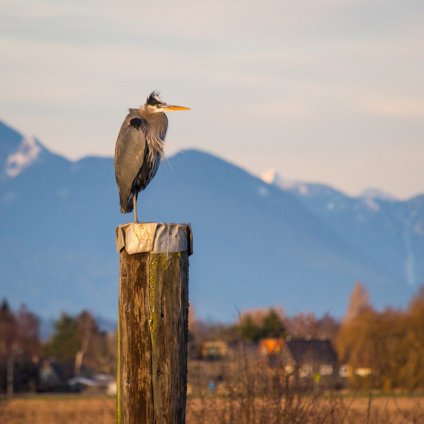 Great Blue Heron visits Garry Point Park.