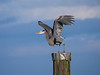 A Great Blue Heron at Garry Point Park.