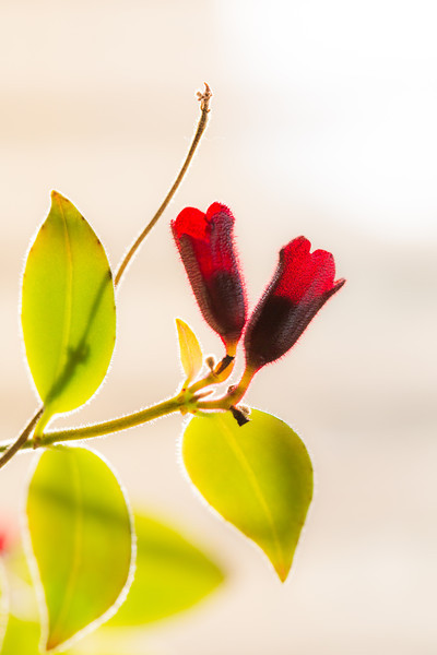 Backlit flower of the lipstick plant.