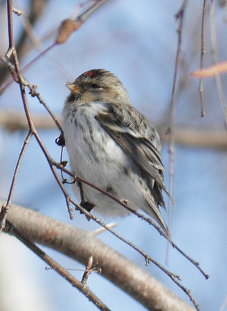 2013 Possible Hoary Redpoll - Chicago Botanic Garden