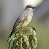Western Kingbird - John Baca Park