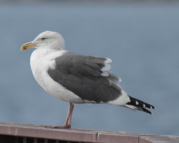 Western Gull - Playa del Rey