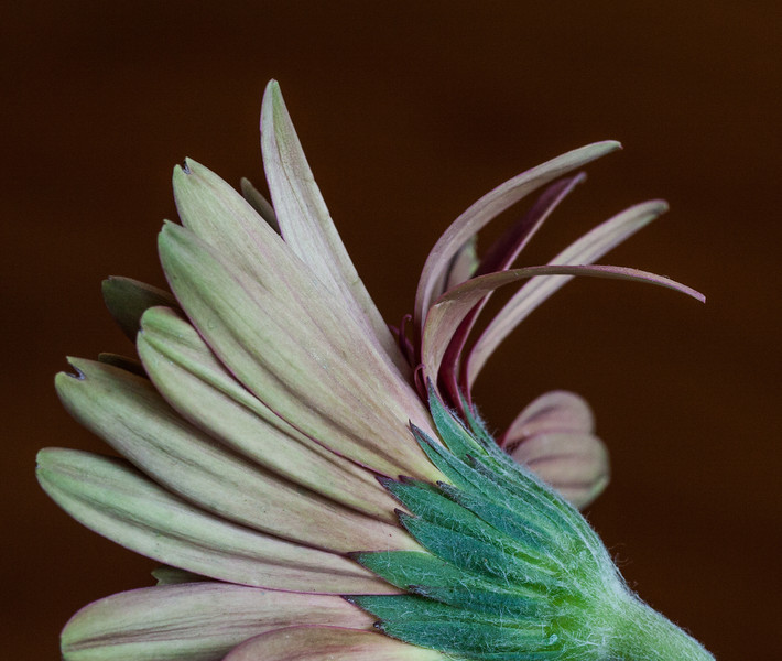 April 10.  Pouring rain and thunderstorms.  Back to a different view of the gerbera daisies.