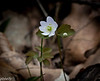 April 15.  Rue Anemone also in bloom.