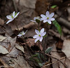 April 15.  Another clump of Hepatica.