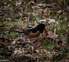 April 14.  Crook Street Wetlands.  Beautiful male Eastern Towhee.  His mate was there, too.