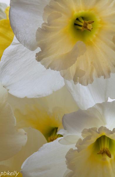 April 13.  Backlit daffodils at the CBG.