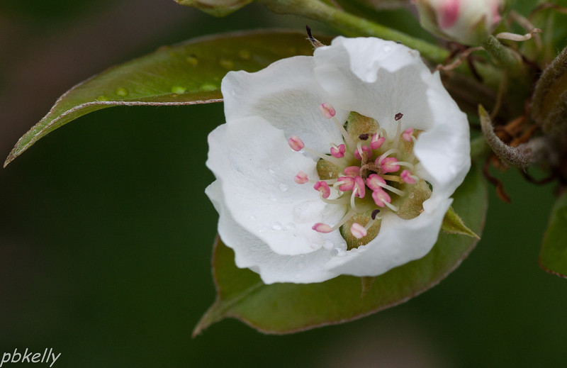 April 28.  Pear blossom. Frost didn't hurt them and my pear tree is totally loaded.