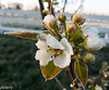 April 26.  Frost on the pear blossoms.  Taken with my pocket p&S.  Frost didn't do any real damage to the blossoms.