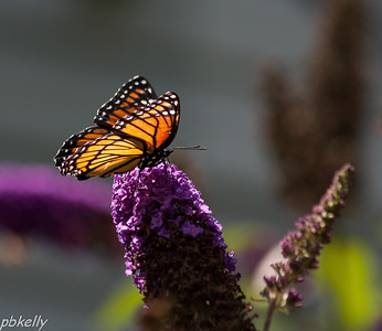08/09.  A Viceroy on my butterfly bush.  No Monarchs yet.