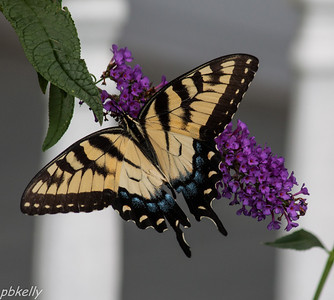 8/15.  Beautiful Tiger Swallowtail.  No wear and tear yet.