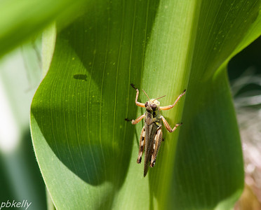 08/09.  Grasshoppers are getting plentiful.  This one was on a corn leaf next door.