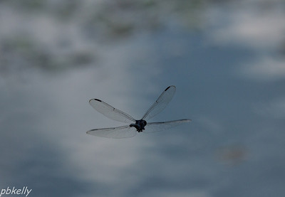 08/29.  CSW.  Slaty Skimmer saying goodbye.