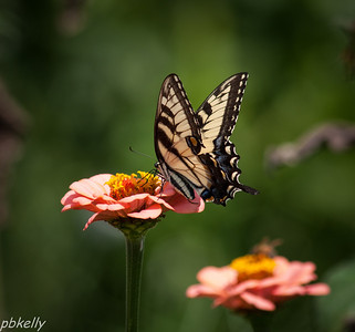 08/23.  Don't need more Tiger Swallowtail pictures, but this one on my zinnias was begging.
