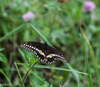 08/27.  After trying all summer for a Black Swallowtail picture, this one finally sat for me.  And not for long!