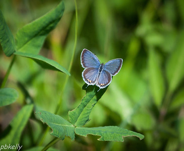08/04.  Tailed Blues rarely sit showing their blue.  Probably the only shot I have ever gotton of them this way.
