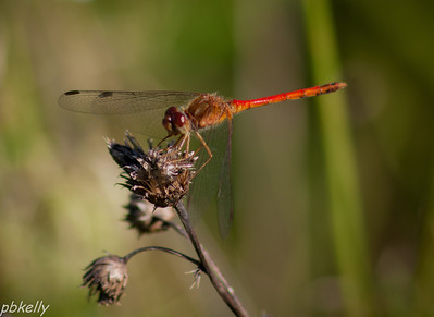 08/23.  Last year because of the dry conditions, there were no Meadowhawks.  But they're back!!!