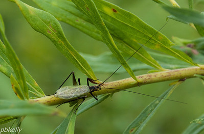 08/31.  Wendtwood Preserve.  Goldenrod is host to all sorts of insects.  This guy is a Black-horned Tree Cricket.