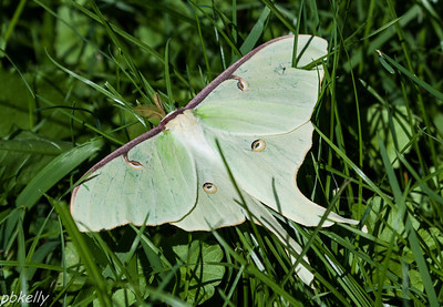 08/01/13.  Saw this Luna Moth in the grass as I was mowing.  Of course, I went and got my camera.  It moved away  after I got this shot.