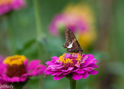 08/27.  The Zinnias again.  They are loaded with Silver Spotted Skippers.