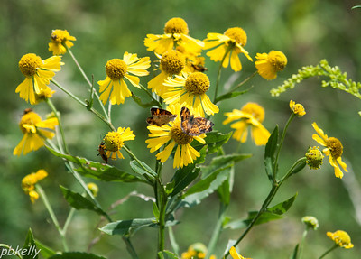 08/29.  CSW.  Sneezeweed attracts all kinds of pollinators.