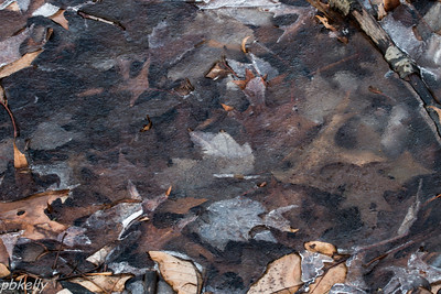 12-27.  Peak Preserve.  A surprising variety of leaves frozen in the ice.