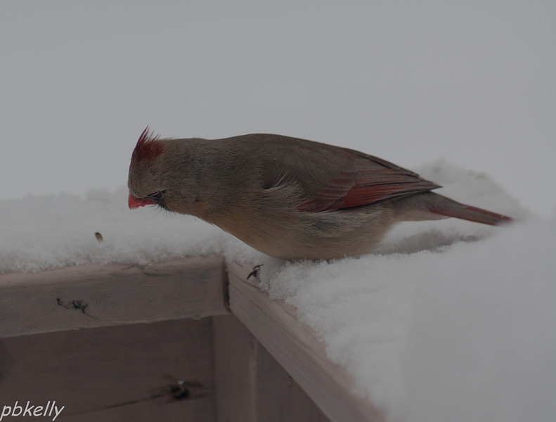 February 3.  This is Mama Cardinal checking the deck floor for seeds.  She's a friend.