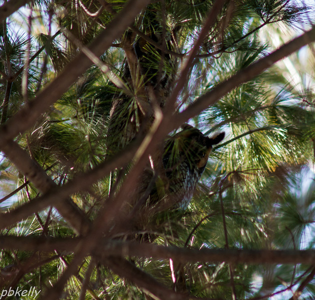 February 7.  Photographically, this shot doesn't make it, but it was the high point of my day.  This is a pair of Long-eared Owls that were way up in some White Pines.  High enough to put a crick in your neck watching them, and just about out of my lens range. It was way cool.