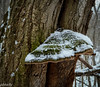 February 2.  Went on a 'Ramble' to CMNH's Medina Sanctuary on the Rocky River.  It was snowing and  I liked the snow on the green top of this bracket fungus.