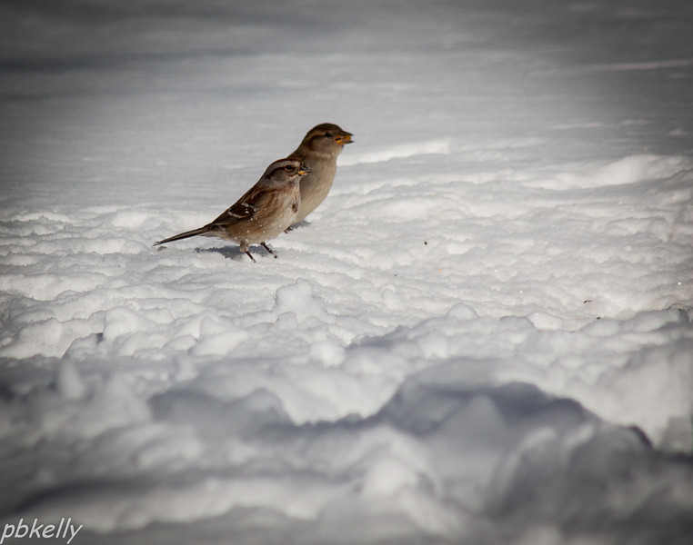 February 18.  6 to 8 inches of snow.  Should have been a very good bird feeder opportunity but for some reason the birds were very skittish, and the wind chill was about 0.  This pair of Tree Sparrows was busy eating.