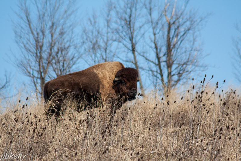 February 9.  The Wilds.  Bison on a little hill.