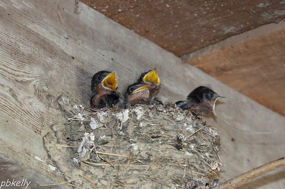 July 30.  Second brood for my Barn Swallows.  Lot of mouth to feed!