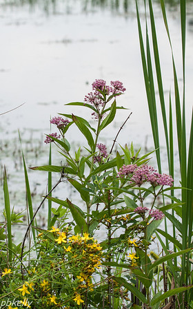 July 10.  CSW.  Swamp Milkweed and St.John's Wort.
