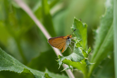 July 16.  Least Skipper.  Lots of these around.  They are little guys, and usually don't stay still long enough for me to get a photo.