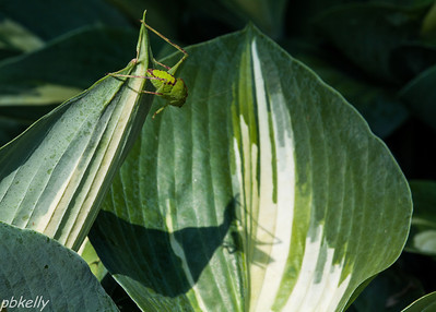 July 21.  CBG.  This Katydid looks like he is staring at his shadow.
