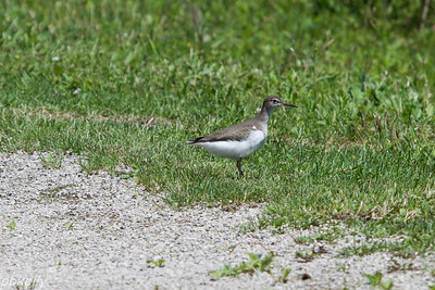July 11.  Juvenile Spotted Sandpiper at Sandy Ridge.