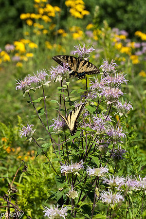 July 29.  Went with Marilyn Beasley to Holden Arb.  Tiger Swallowtails were prevalent - two to a plant here.