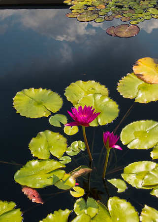 July 21.  CBG.  Reflections in the Lily Pond.