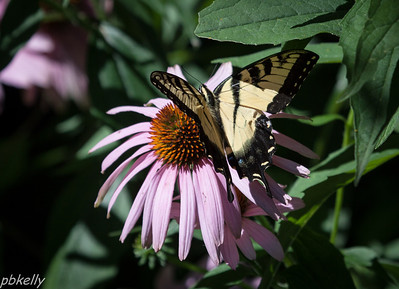 July 25.  Tiger Swallowtails are one of the few butterflies abundant this year.
