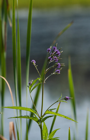 July 18.  Crook Street Wetlands.  Blue Vervain.