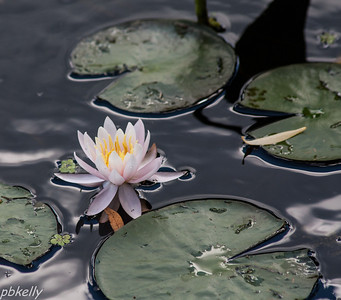 July 29.  Lily pond at Holden.