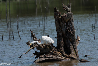 July 11.  Sandy Ridge.  I loved the way this Egret set itself up on this old stump.  The stump was great all by itself.
