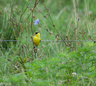 July 31.  Goldfinches have been after the Chicory seeds.  Don't remember that from before.  Working on a better shot.