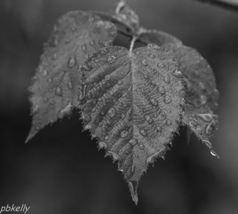 July 3. Rain (surprise!) on a blackberry leaf. All this rain has me inside playing with b&w conversions and filters.